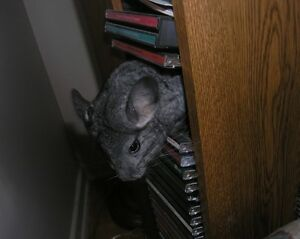 THE SWEETEST LITTLE CHINCHILLAS ARE READY FOR YOU TO ADOPT Cornwall Ontario image 2