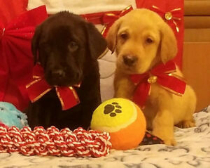YELLOW & BLACK LABRADOR (LABS) PUPPIES - Ready for Christmas