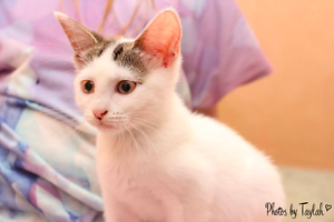 Lilly rescue KITTEN to adopt VET WORK INC Hamersley Stirling Area Preview