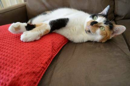 Lovely Calico Cat avilable for Adoption Manly Vale Manly Area Preview