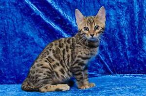 Pure Bengal female kitten. Ready Now. Bayonet Head Albany Area Preview