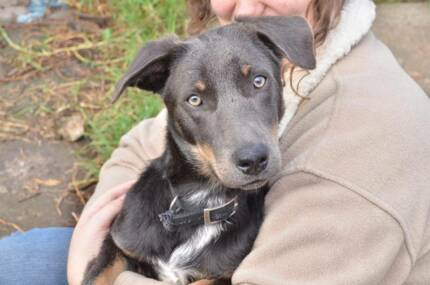 Max (Kelpie X) Very obedient and eager to please. Tinonee Greater Taree Area Preview
