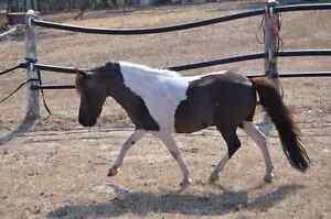 Miniature Horse Stallion Kendenup Plantagenet Area Preview
