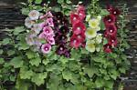 Hollyhock Consignment