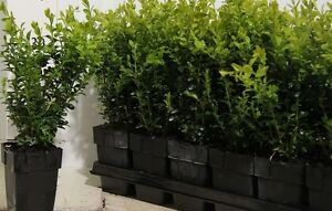 36X BUSHY BUXUS BOX HEDGING PLANTS - EVERGREEN - HIGH QUALITY - P9 POTTED