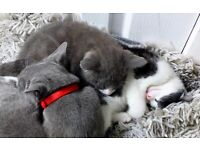Kittens For Sale Blacck Black-White Boy Joy Playfull love Kids