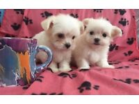 Pure Maltese tiny puppies cute fluffy small puppy dog
