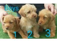 Norfolk Terrier cross puppies