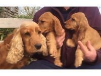Golden show type cocker spaniel puppy boy