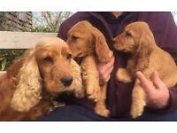 Golden show type cocker spaniel puppies