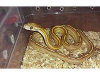 Golden Corn Snake