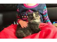 Beautiful Black kitten with tortoiseshell markings-girl