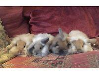 Mini lion lop babies for sale ready now