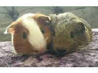 Gorgeous Baby Guinea Pig Brother Pair