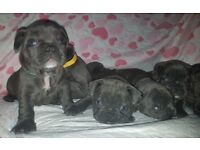 Slid blue French Bulldog puppies KC 6 weeks old