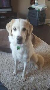 "Adult Female Dog - Golden Retriever-Great Pyrenees: ""Meesha"""