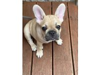 KC Registered French Bulldog Puppies