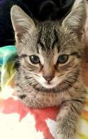 """Young Female Cat - Tabby - Brown: """"Peep"""""""