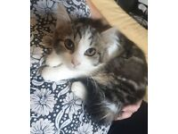 1 Beautiful Tabby / Maine coon Female kitten