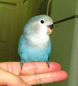 handfed baby lovebird (whiteface blue)==SOLD