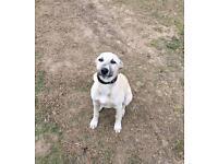 Lurcher cross pup