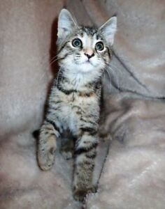 "Baby Female Cat - Torbie: ""Fiona"""