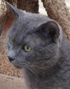 """Young Male Cat - Domestic Short Hair-gray: """"Prince Arthur"""""""