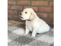 Golden (cream) Retriever Puppies