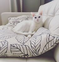 Oriental white cat to give