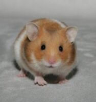 Wanted: Syrian hamster pup