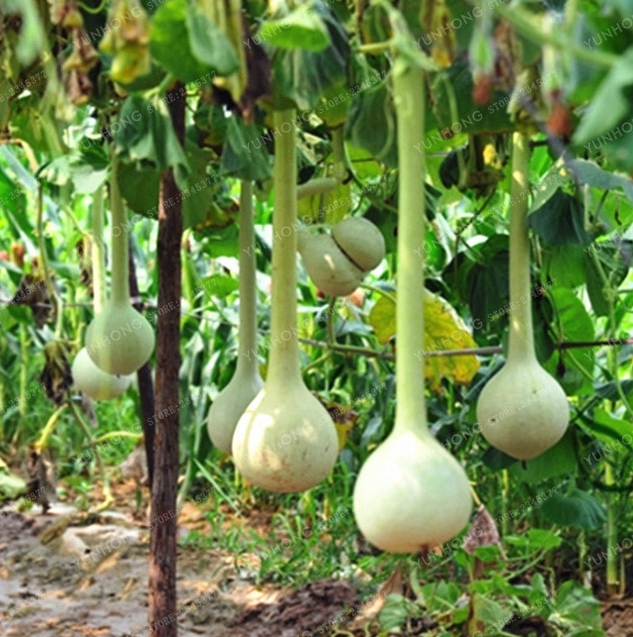 10 Pcs Seeds Dipper Gourd Bonsai Vegetable Climbing Melon Creepers