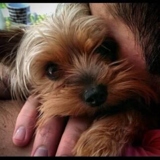 Dog minding Wahroonga Ku-ring-gai Area Preview