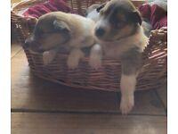 Rough Collie Pups