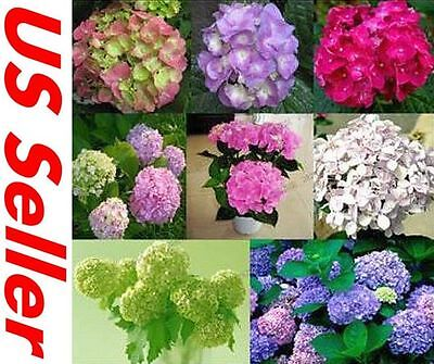 50 PCS Hydrangea, Bright Mixed Color Seeds ...