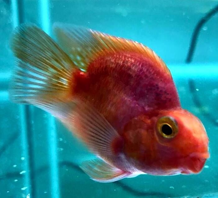 parrot fish 2 2 5 purple parrot blood red parrot cichlid