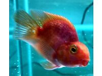"Parrot Fish 2-2.5"" | Purple Parrot | Blood Red Parrot | Cichlid | Jelly Bean Parrot"