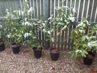 3 ft & 5 ft Laurel plants