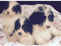 Stunning fluffy f1 cockapoo pups for sale 1 boy 1 girl ready now