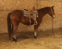 11 YEAR OLD-15 HAND-AQHA REGISTERED, WELL BROKE RANCH HORSE