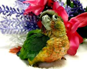 ❤️❤️New Beautiful Baby Yellow-side conure❤️❤️