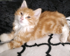 Beautiful kitty for sale