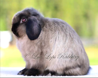 Looking for Siamese sable Holland lop