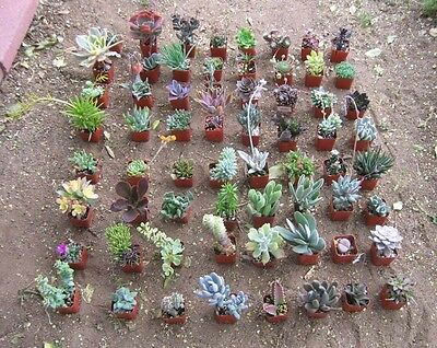 "30 MISC SUCCULENT COLLECTION 30 SPRING ROOTED SPECIMENS IN 2"" POTS AND SOIL"
