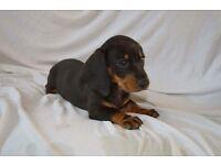 Miniature Dachsund pups