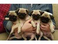 Gorgeous chunky KC registered pug puppies