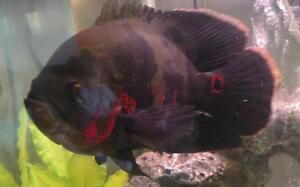 Tiger Oscar Fish