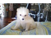 Stunning pomchi pups boys only.
