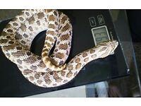Western Hognose Snake REHOMING