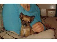 Chihuahua Pup, Girl