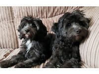 CAVAPOO Girl Puppies